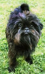 affenpinscher star wars the most unusual looking dogs quora
