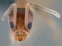 meet the u0027bad ant u0027 that u0027s overwhelming california sfgate