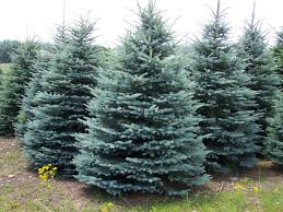 colorado blue spruce christmas trees landscape trees