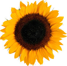 sunflower pictures sunflower png images free