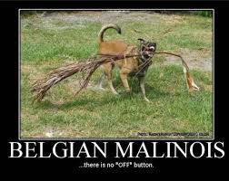 belgian malinois quotes 28 best belgian malinois images on pinterest military dogs