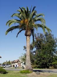 canary island date palm tree 10 seeds localharvest