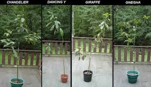 large avocado trees in containers