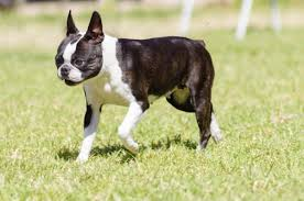 Do All Short Haired Dogs Shed by A List Of Small Dogs That Don U0027t Shed Unbelievable But True