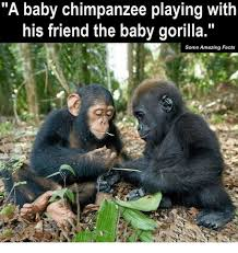 Gorilla Memes - a baby chimpanzee playing with his friend the baby gorilla some