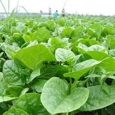 new top fashion summer vegetable daye auricularia seeds seed