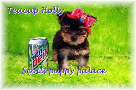 affenpinscher puppies for sale in texas teacup puppies for sale in missouri mo