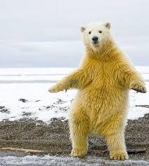 Dancing Bear Meme - dancing polar bear blank template imgflip