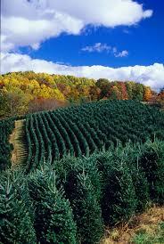 christmas tree farm before the christmas season north carolina