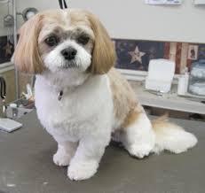 list of shih haircut shih tzu after grooming grooming pinterest shih poo shih