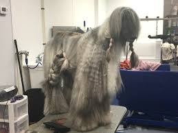 afghan hound group afghan hound wags to riches dog grooming