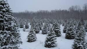 contact us marldon christmas trees at darts farm