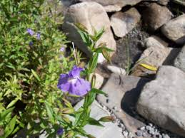 monkey flowers water plant monkey flower are flowering pond plants for water gardens