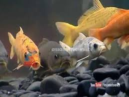 kerala s own fishes in aquarium amazing collection of mathew