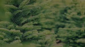 christmas astonishing real christmas trees large live order jfp