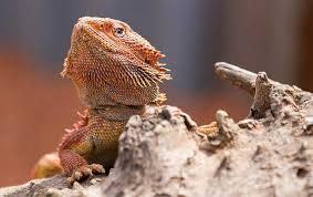baby bearded dragon handling