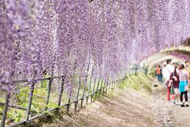 japan flower tunnel visit japan for wonderful wisteria flower tunnels times knowledge