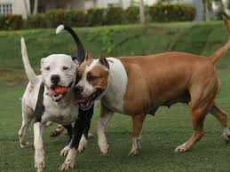ukc american pitbull terrier american bully vs pit bull terrier what is the difference
