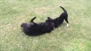 belgian sheepdog breeds belgian shepherd and border collie playing youtube