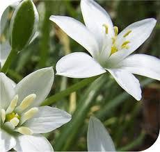 of bethlehem flower of bethlehem the comfort flower i homeopathy