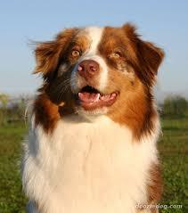 australian shepherd orange index of dog breeds australian shepherd images full