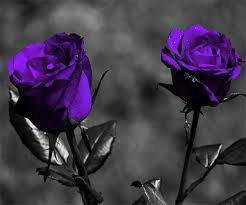 purple roses purple live wallpaper android apps on play