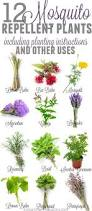 best 25 mosquito repelling plants ideas on pinterest insect