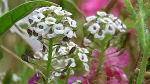 plant id forum small white garden flower identification garden org