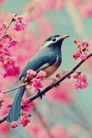 birds in cherry blossom tree search birds and cherry