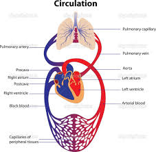 anatomy of the cardiovascular system cardiovascular system anatomy