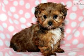 pictures of shorkie dogs with long hair ten most important facts about the shih tzu yorkie mix the more