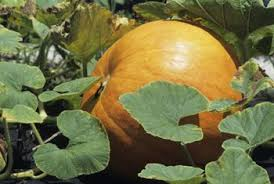 Growing Pumpkins On A Trellis How To Keep A Pumpkin From Rotting On The Vine Home Guides Sf Gate