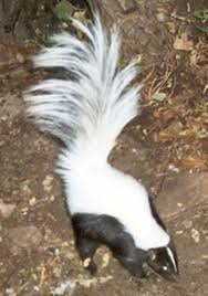129 best skunks porcupines u0026 beavers images on pinterest