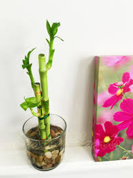 lucky bamboo ribbon plant evergreen indoor bonsai in ceramic pot