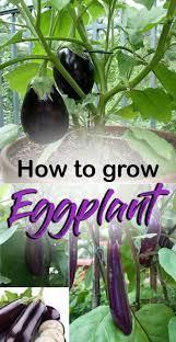 Eggplant In Container Garden Best 25 Eggplant Plant Ideas On Pinterest Vegan Recipes