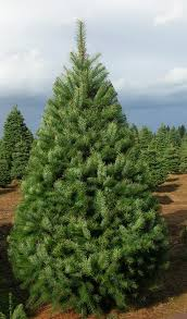 douglas fir christmas tree our products the tree wisemans