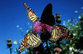 file monarch butterflies insects jpg wikimedia commons