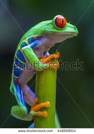 eyed tree frog stock images royalty free images vectors