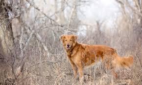 belgian sheepdog golden retriever mix meet coulee the golden retriever mix on pack