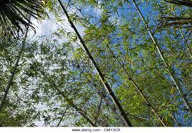slender trees stock photos slender trees stock images