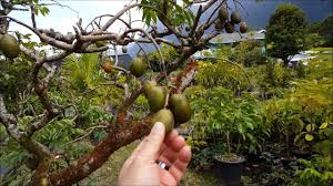 Tropical Fruit Tree Nursery - frankies tropical fruit nursery on oahu youtube