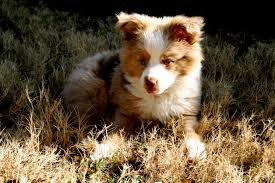 australian shepherd puppies 7 weeks miniature australian shepherds fried pink tomato