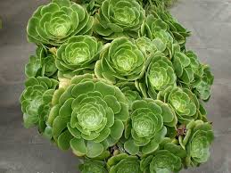 aeonium one of the most ornamental succulents world of succulents
