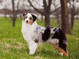 australian shepherd miniature battlefield aussies and miniature american shepherds puppies for
