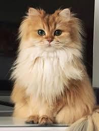 Persian Cat Meme - simple temperament and personality of persian cats wallpaper