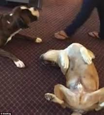 boxer dog upset stomach boxer dog whines and whimpers when his friend plays dead daily