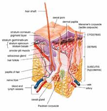 A Picture Of The Human Anatomy Human Skin Wikipedia