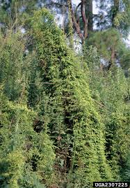 japanese climbing fern nonnative invasive plants of southern