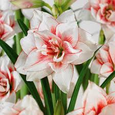 amaryllis flower zyverden amaryllis bulbs elvas set of 1 bulb 21411 the