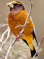 Audubon Backyard Bird Count by Great Backyard Bird Count U2014 Audubon Society Of Portland